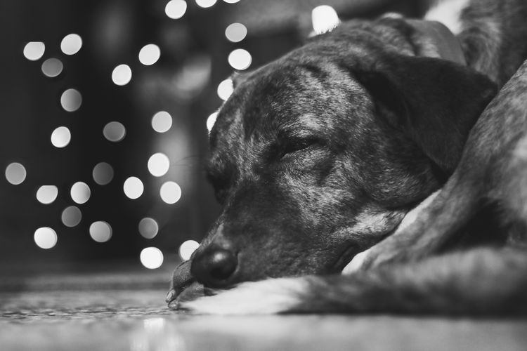 pets are always with you in whether they are dreaming or eating . EyeEm Selects Pets Dog Water Close-up English Bulldog Pit Bull Terrier Bulldog Animal Tongue Labrador Retriever Retriever Canine Boxer - Dog Animal Mouth Pet Collar Panting Sticking Out Tongue French Bulldog Beagle