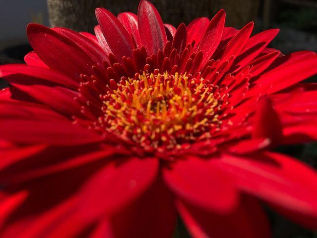 Red flower Flowering Plant Flower Petal Red Fragility Inflorescence Freshness