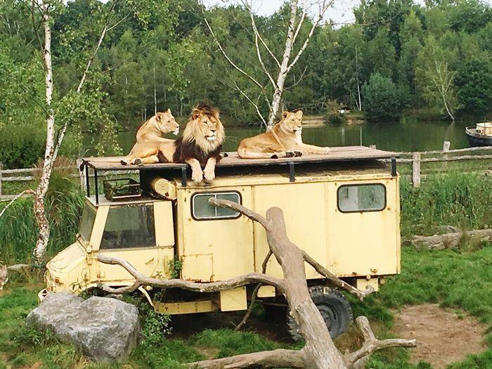 Lions Tree Mode