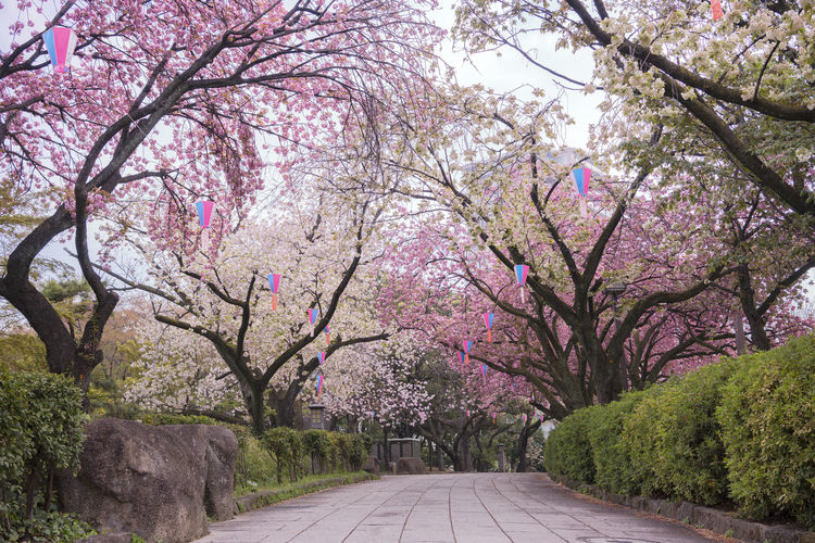 Pink cherry blossoms on road amidst trees