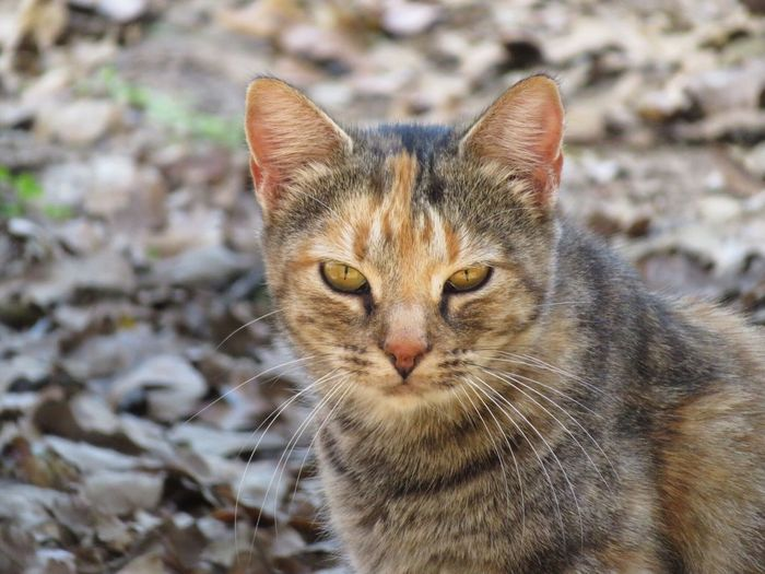 Domestic Cat Domestic Animals One Animal Pets Animal Themes Looking At Camera Mammal Portrait Feline No People Close-up Outdoors Day