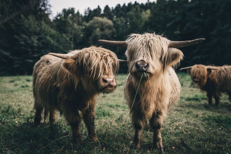 Cows standing on field