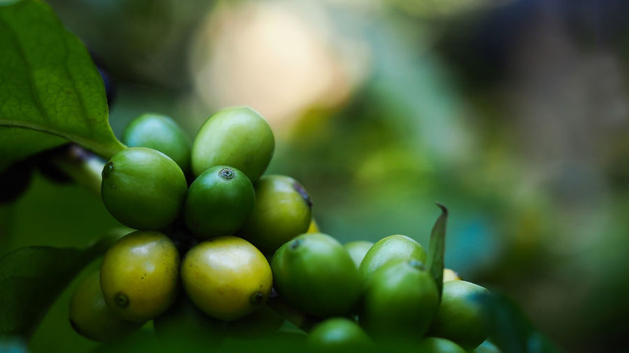 Coffee beans ripening on coffee tree branch, selective focus for business nature concepts backgrounds Green Color Fruit Healthy Eating Food And Drink Freshness Food Growth Close-up Plant No People Day Wellbeing Plant Part Leaf Selective Focus Nature Focus On Foreground Beauty In Nature Outdoors Tree Coffee Coffee Bean Coffee Beans Roaster Nature Organic Organic Food