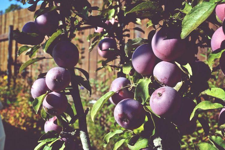 шевлягино осень яблоки Природа