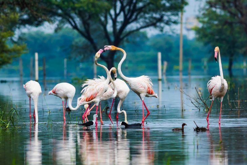 A nature painting by a greater flamingo flock at keoladeo bird sanctuary, bharatpur, india Wildlife Expression Phoenicopteridae India Bird Sanctuary Flamingos Aves Keoladeo National Park Nature Green Color Blue Background Greater Flamingo Animal Animal Themes Group Of Animals Bird Water Vertebrate Animal Wildlife Animals In The Wild Lake Waterfront Nature Flamingo Tree No People Reflection Large Group Of Animals Flock Of Birds Outdoors
