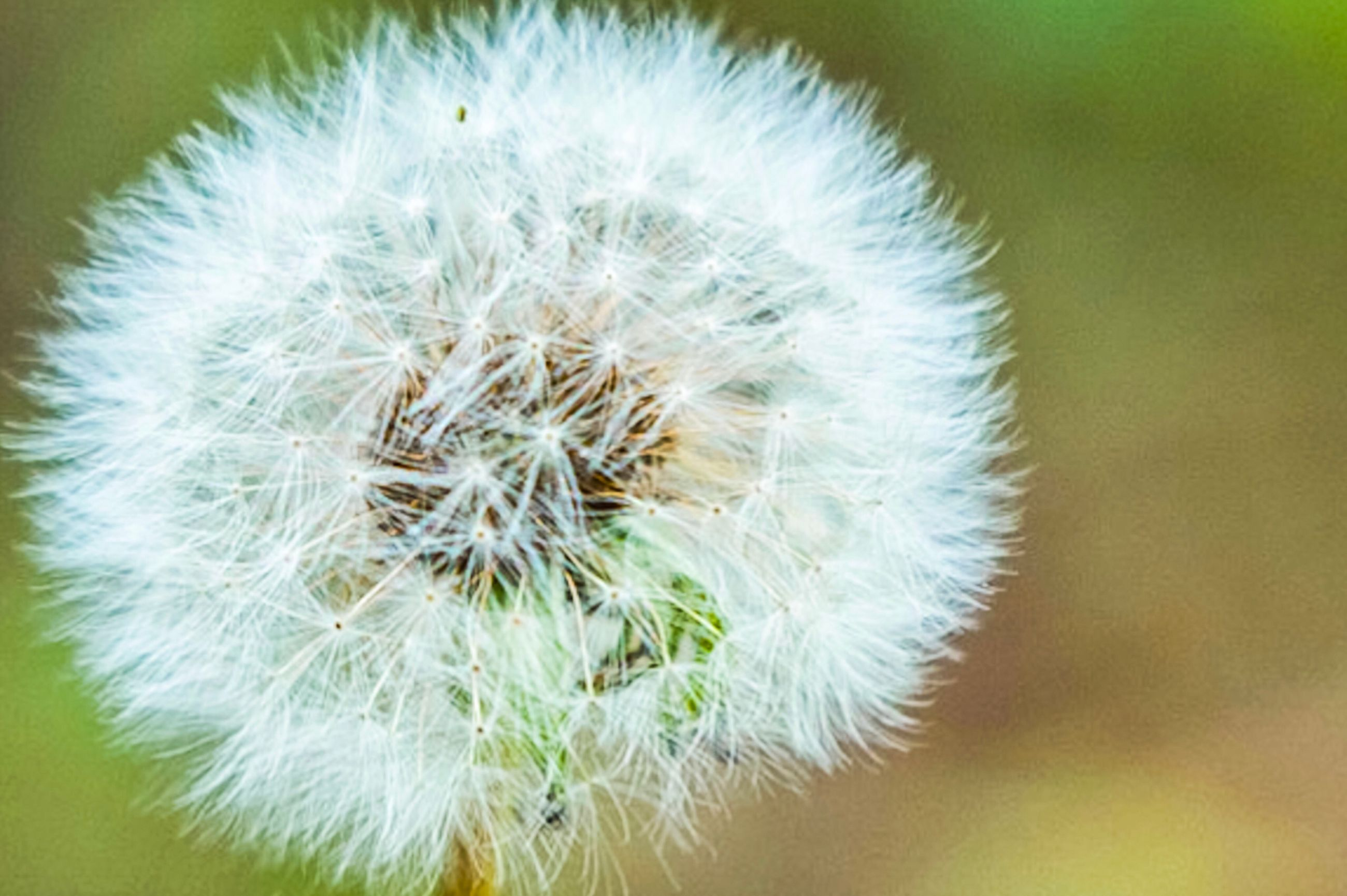 flower, dandelion, fragility, close-up, nature, softness, flower head, growth, beauty in nature, plant, freshness, wildflower, uncultivated, focus on foreground, seed, no people, day, springtime, outdoors