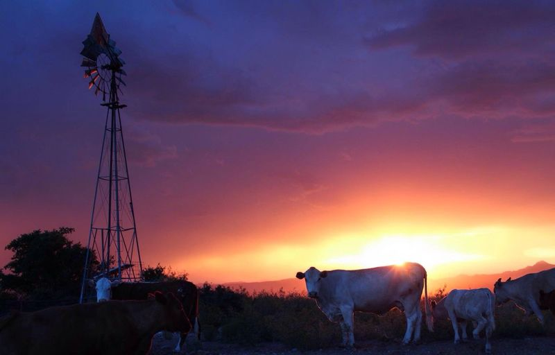 A fiery sunset in Las Cruces, NM at the base of the Organ mountains. Ameturephotographer Peaceful New Mexico Desert Beauty Las Cruces Nm Landscape Beauty In Nature Canonphotography Canonphotographer Ameturephotography Wildlife Naturelovers Outdoors Organ Mountains LasCruces Cows Farm Life Farmland