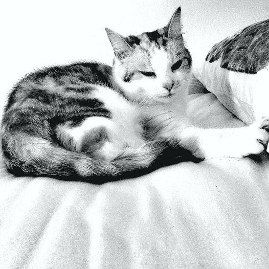 Cats Pets One Animal Indoors  Relaxation Animal Head  Close-up At Home Lying Down Mycat Blackandwhite Catcollection
