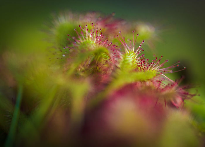 Carnivorous Plant Kew Kew Gardens Macro Photography Beauty In Nature Cape Sundew Plant Close-up Freshness Green Color Growth Macro Meat Eating Plant Nature Red Colour Strange Plants Sundew Sundew Plant