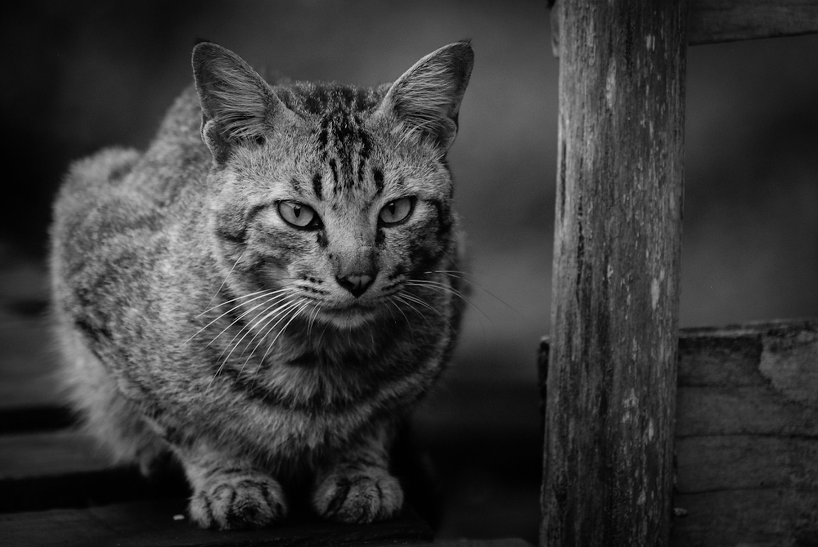 domestic cat, animal themes, one animal, cat, mammal, feline, pets, whisker, domestic animals, portrait, looking at camera, focus on foreground, close-up, wood - material, sitting, animal head, front view, alertness, staring