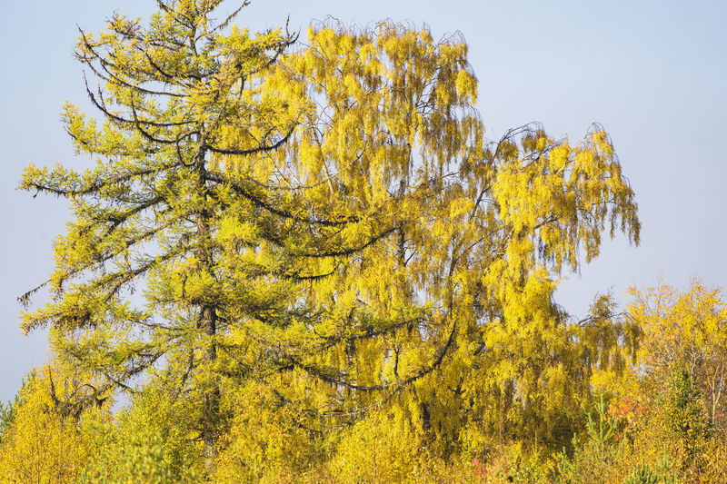 Low angle view of yellow autumn tree against sky
