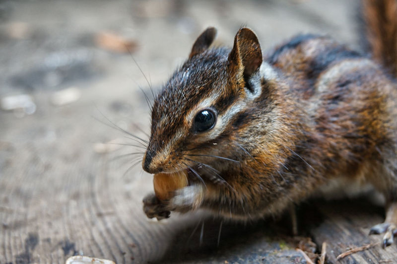 Close-up of chipmunk eating corn nut