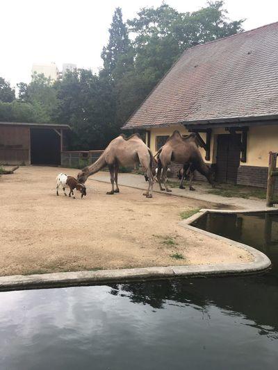 Bactrian Camel Trampeltier Kamel Camels