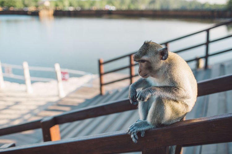 Siem Reap Cambodia Angkor Wat Railing Animal Themes Animal Animal Wildlife Mammal Focus On Foreground One Animal Animals In The Wild Vertebrate Water Primate Nature Day Lake Monkey No People Wood - Material Outdoors Sitting