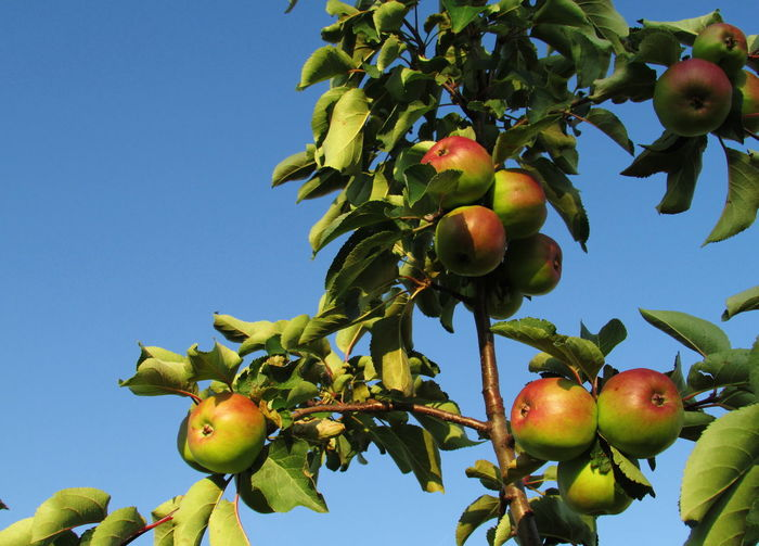 Low angle view of apples on tree against sky