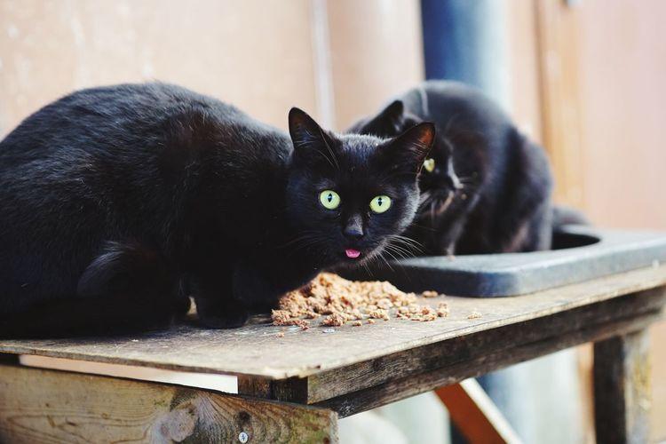 Portrait of black cat on wood