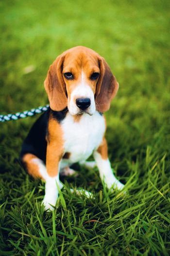 Hush  Puppy Love Pup Dog Beagle Beaglelovers Mypet Pets Looking At Camera Grass Animal Themes EyeEmNewHere VSCO
