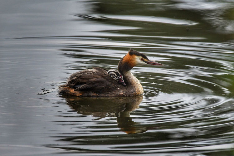 great crested grebe Swimming Animals In The Wild Water One Animal Duck Bird Animal Wildlife Lake Animal Themes Water Bird Nature No People Outdoors Day Close-up Reflection Animals In The Wild Summer Nature Nikonphotography LONDON❤ Bird Photography Sigma 150-600c Birds_collection Avian Collection