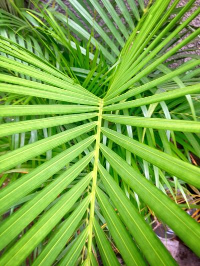 Green Color Nature Growth Leaf No People Backgrounds Close-up Full Frame Day Outdoors Frond Beauty In Nature Freshness Coconut Leafs Plant High Angle View