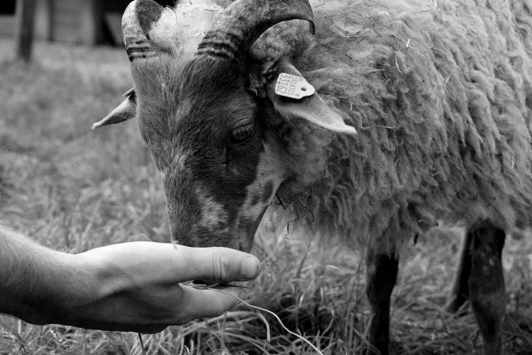 Cropped Hand Of Man Feeding Sheep On Field