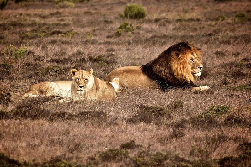 Lion and lioness relaxing on field