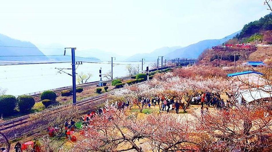 이곳은 축제의 현장입니다 원동 순매원 . . . 부산 Busan 바다 일상 데일리 감성 감성사진 사진 여행 일상공유 맞팔 Sotong Spring 미러리스카메라 Follow Followme Photo Travel Daily Southkorea