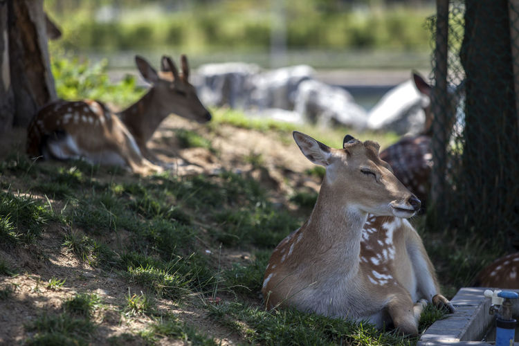 Deer Resting On Field At Park