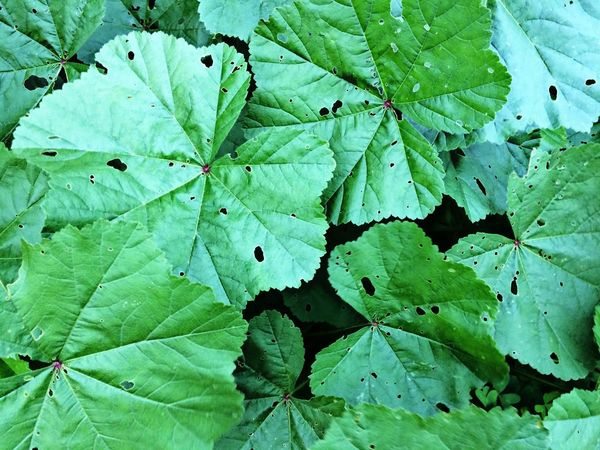 Leaf Nature Growth Plant Green Color Outdoors No People Beauty In Nature Close-up Leaves Freshness Beautiful Green Holes