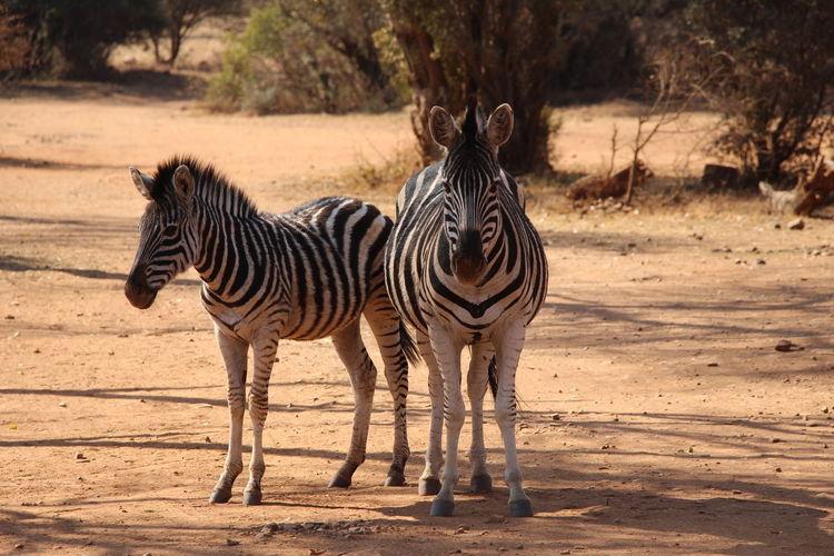 Zebra standing on dirt field