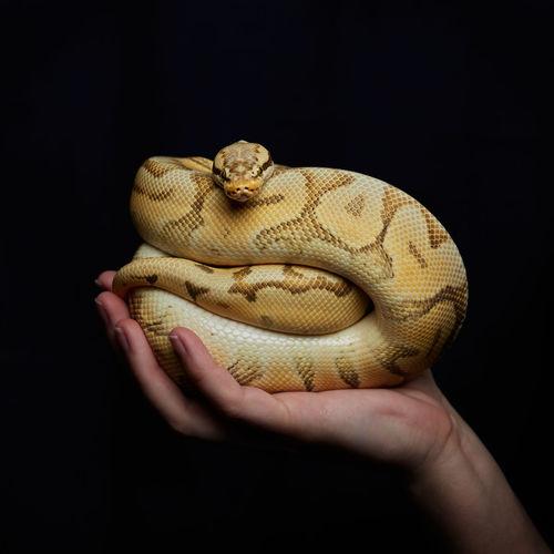 Hand holding royal python on black background