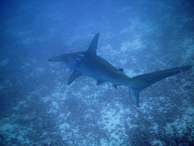View of a hammerhead shark at the Galapagos Islands Animal Themes Animals In The Wild Fish Galapagos Islands Hammerhead Shark Nature No People Sea Life Sharks Swimming UnderSea Underwater