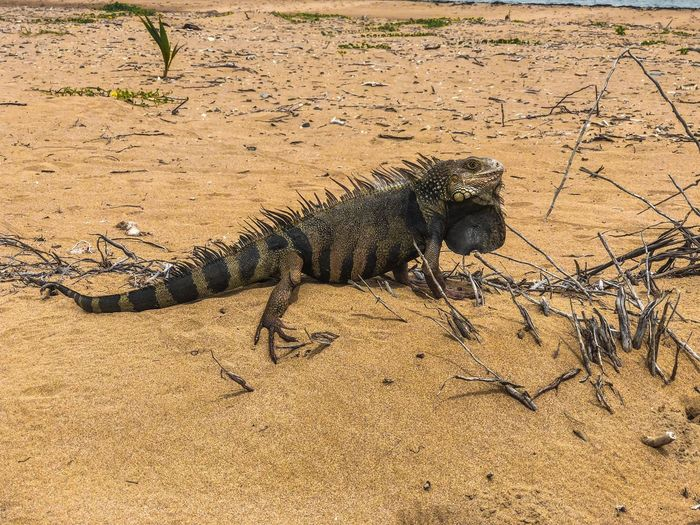 Land Animal Animal Themes One Animal Sunlight Animals In The Wild Nature Shadow Outdoors High Angle View Lizard Day Vertebrate Beach Sunny Field Sand No People Reptile Animal Wildlife