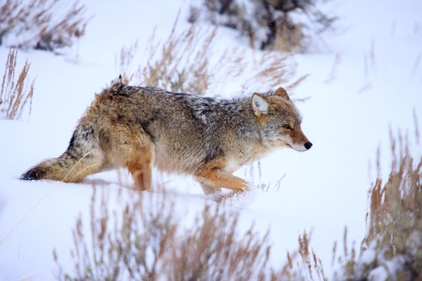 Coyote in winter snow EyeEm Selects One Animal Animal Themes Day Animals In The Wild No People Mammal Low Angle View Sky Nature Tree Outdoors Close-up