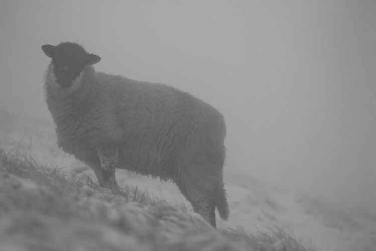 Sheep on snow covered with field during fog in winter