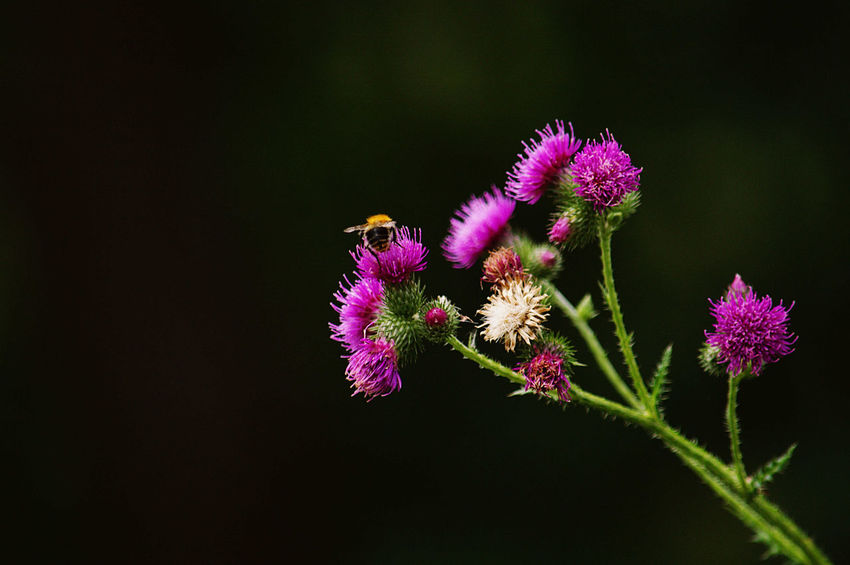 flower and the bee_1 Beauty In Nature Bee 🐝 Bokeh Photography Botany Close-up Day Flower Focus On Foreground Growth Nature No People Outdoors Plant Purple Selective Focus