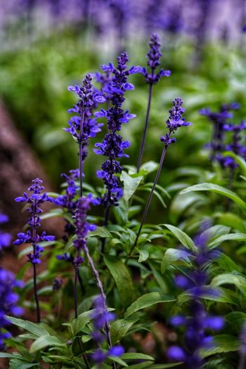 No People No Person Day Flower Head Flower Purple Close-up Plant Green Color Passion Flower Lavender Colored In Bloom Lavender Flowering Plant Plant Life Purple Color Blossom