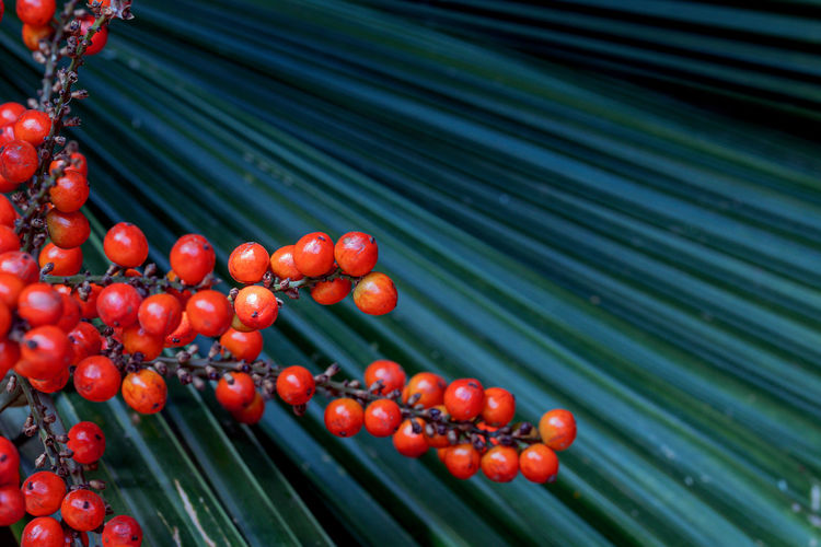 Close up orange seed of palas palm, ruffled fan palm or vanuatu fan palm.