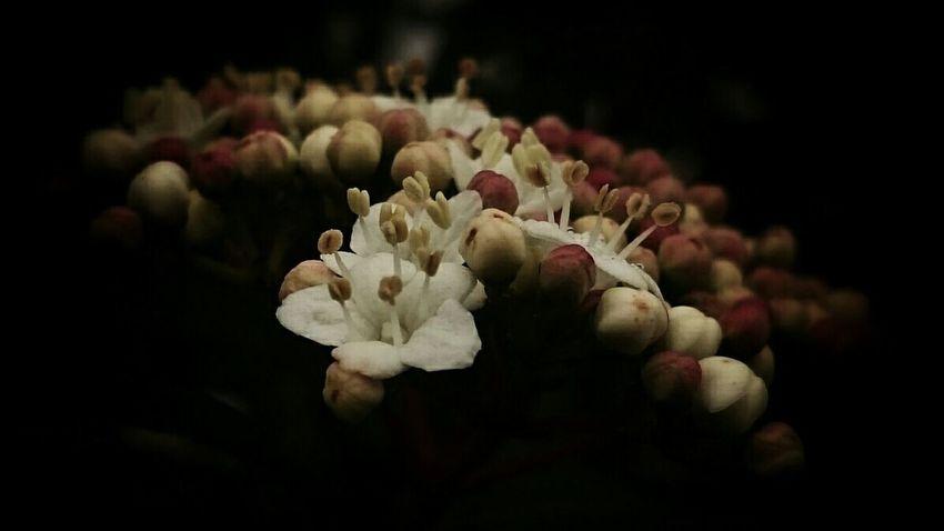 Dansmonjardin Viburnum Viburnum Tinus Flower Fleur Flor