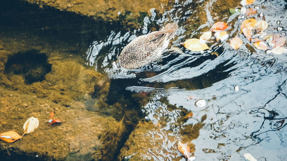 Animal Themes Autumn Leaves Day Dive Duck Leaves Nature Nature One Person Outdoors People River Scenics Simple Stream Swiming Water Water Reflections