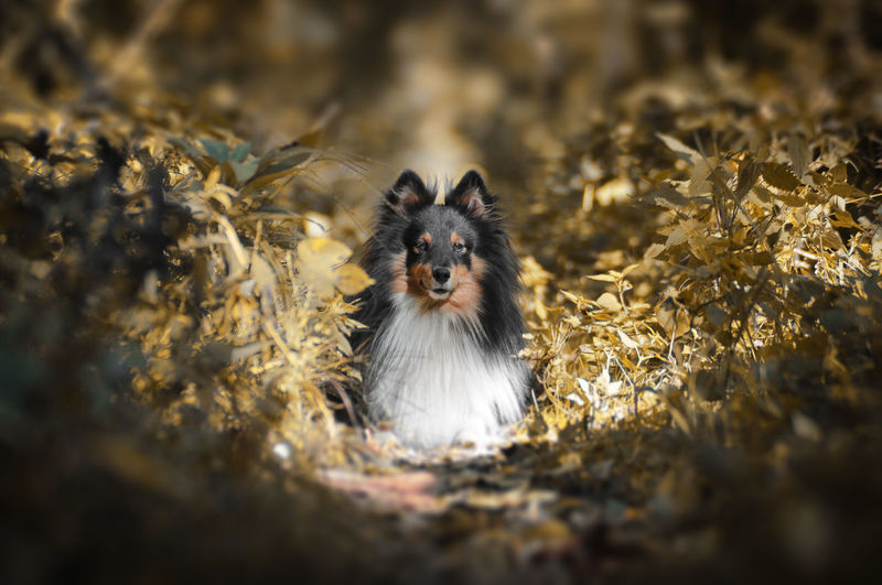 Alessandro Cappello Australian Shepherd, Dog ,animal Photo Shoot Animal Animal Themes Australianshepherd Day Dog Dog Life Dog Love Dog Photo Dog Photography Dog Portrait Domestic Animals Leaf Looking At Camera Mammal Nature No People One Animal Outdoors Pets Portrait Varese EyeEmNewHere