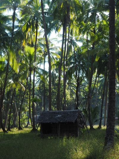 Beauty In Nature Bench Coconut Palm Tree Day Field Forest Grass Green Color Growth Hut Land Nature No People Outdoors Palm Tree Plant Tranquil Scene Tranquility Tree Tree Trunk Tropical Climate Trunk WoodLand