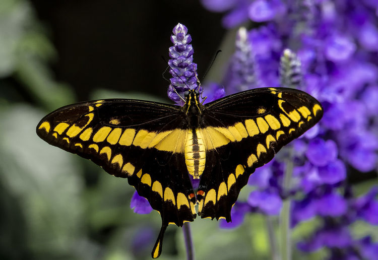 Spread wings Animal Wing Insect Invertebrate Animal Themes Butterfly - Insect Flower Animal Wildlife One Animal Animal Animals In The Wild Beauty In Nature Flowering Plant Close-up Plant Focus On Foreground Butterfly Outdoors No People Flower Head Pollination Purple Fragility Spread Wings