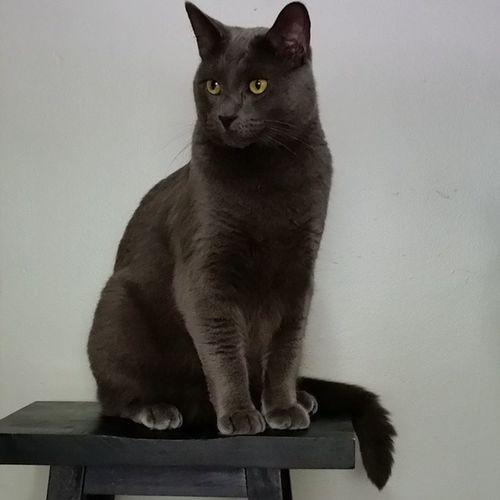 Catsofinstantgram Cat Catoftheday Greycat Handsomecat Handsome Posing catsofinstagram Proud Cats