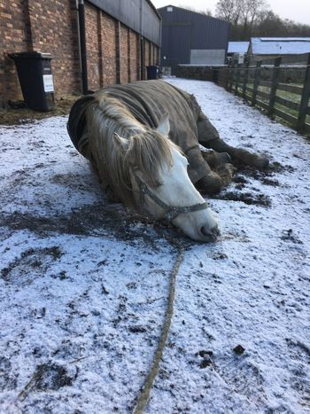 Highland Pony Horse Rolling Animal Themes Cold Temperature Winter Snow Domestic Animals One Animal Mammal Outdoors