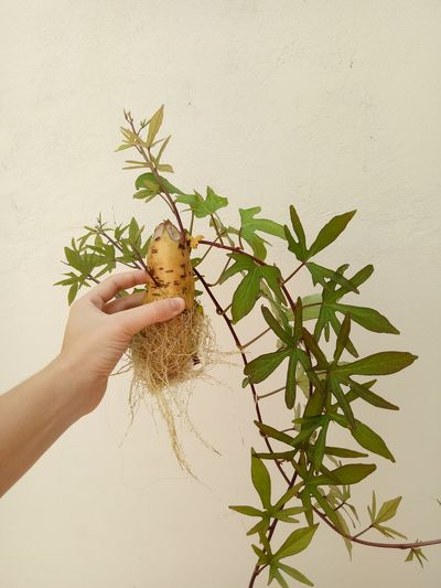 Close-up of human hand holding plant by wall