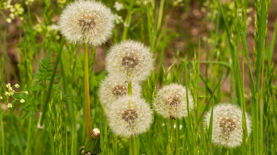Beauty In Nature Growth Focus On Foreground Dandelion Flower Head Field Green Color Dandelion Seed Softness Outdoors No People Flower Nature Day