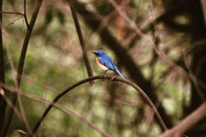 Pune Rufous-bellied Thrush Beautiful Bird Bird Photography Randomshot Little Bird Bird In Wild