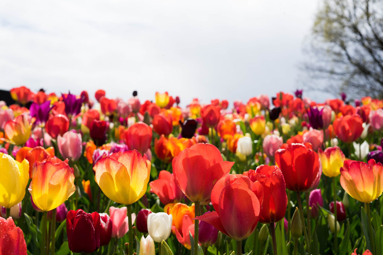 flowering plant, flower, plant, fragility, vulnerability, beauty in nature, freshness, petal, tulip, growth, nature, close-up, flower head, inflorescence, no people, red, land, focus on foreground, day, field, outdoors, springtime, flowerbed, purple, bunch of flowers