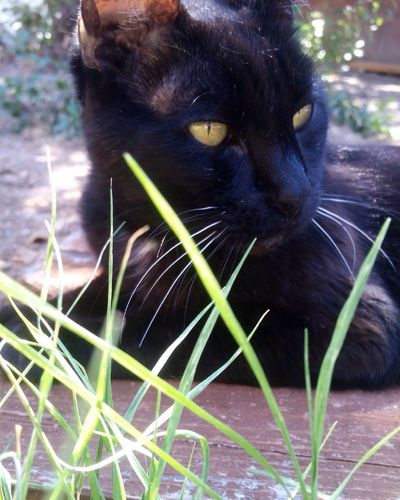 Loki, age 17! Black Cat Black Cat Head Shot Outdoors Day Plant Low Angle View Grass Suburban Gardening