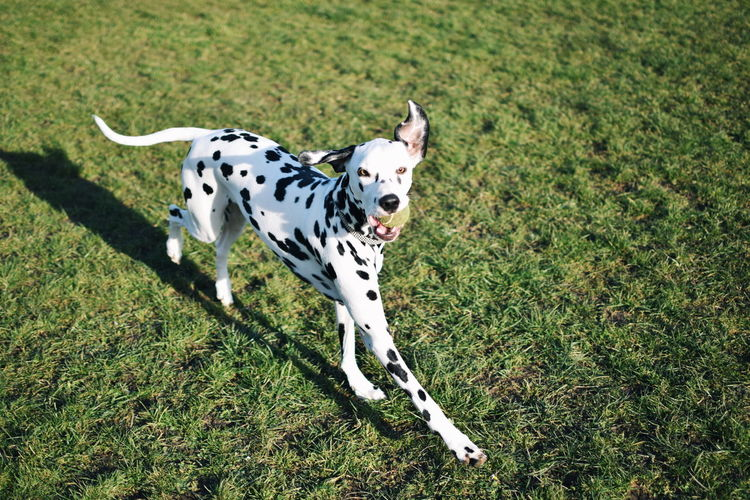 Taking Photos Check This Out Dogs EyeEm Best Shots Nikon Capture The Moment Uk Dalmatians Vscgood Vscocam VSCO